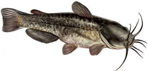 Les poissons chats, fidèles moustachus